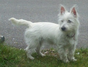 Willow the Westie Terrier